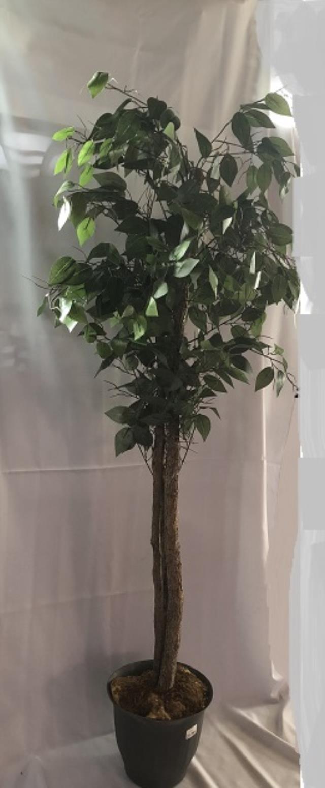Ficus Tree 6 Foot Rentals New Jersey Philadelphia Pa