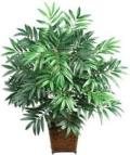Rental store for ARECA PALM  TREE in New Jersey / Philadelphia PA